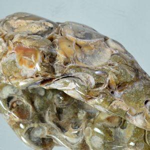 Ракушнечик, экзиогира коника